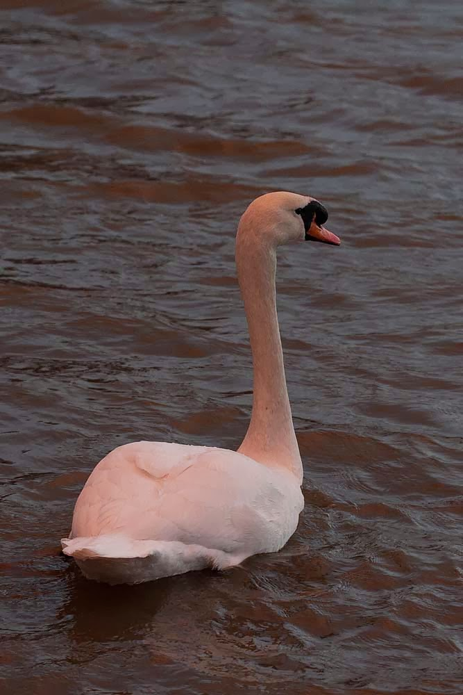 Another of the swan lit by the sunset