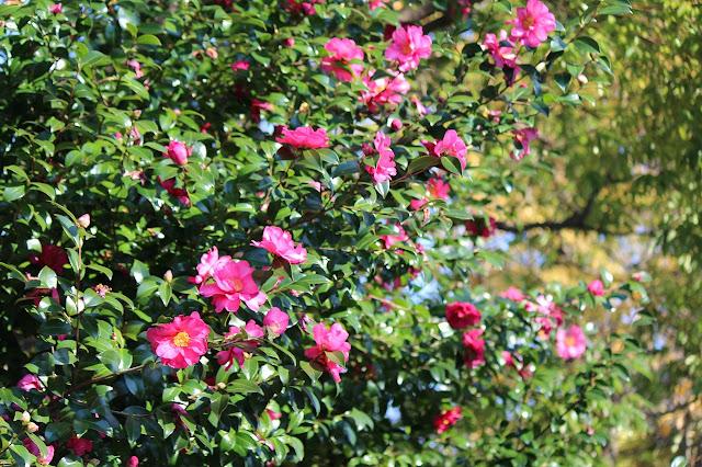 山崎公園の山茶花