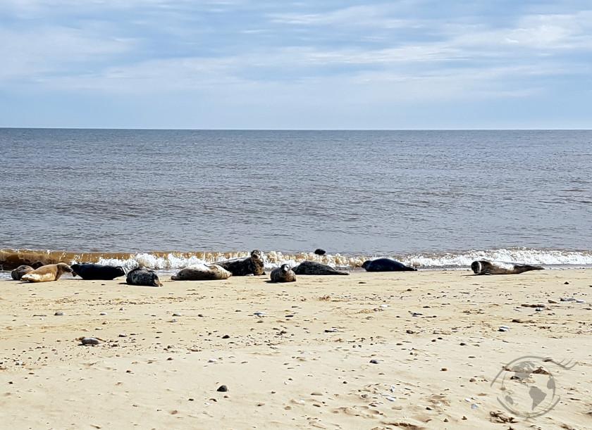 grey seals colony at horsey gap