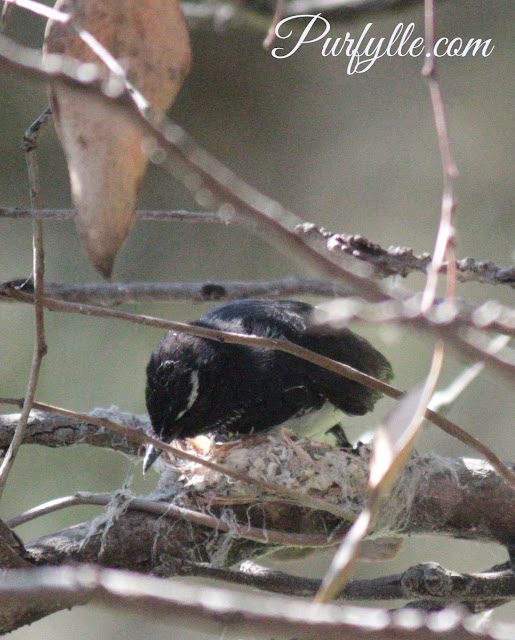 Willie Wagtail uses spider web to build a strong nest