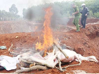 Tiêu hủy thịt heo bệnh tại Đồng Nai
