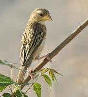 Burung Manyar Betina