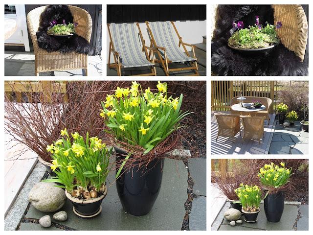 Ideer til vårblomstring i krukker - gult og/eller burguner - Kollasj av gule påskeliljer/narsisser og skinnkledde stoler