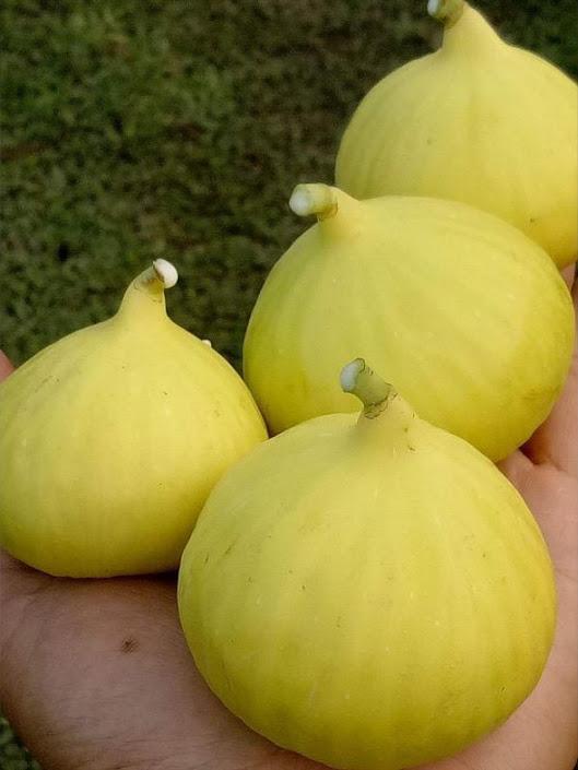 bibit buah tin jenis Jin Ao Fen sangat rajin berbuah bibit pohon tin bibit tanaman tin Kalimantan Barat