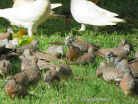 Zebra Doves being fed on Magic Island, Oahu – © Denise Motard