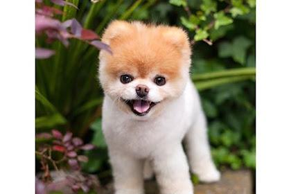 World's Cutest Dog Dies Of Heartbreak After Losing Bestie