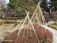 Protecting short hedges with tent ropes for winter - Kenroku-en Garden, Kanazawa, Japan