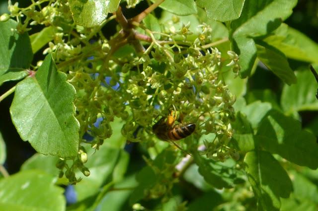bee pollinating poison oak