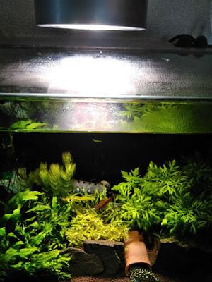 IKEA植物育成用LED電球を45cm規格水槽で利用してみる実験(ガラス蓋から5cm)
