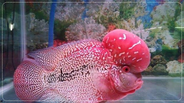 Supplier Bibit dan Ikan Louhan Hias Terpercaya di Yogyakarta