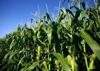история появления кукуруры