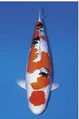 Jenis Ikan Koi Termahal Thaiso