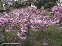 Apple trees in bloom, Tokyo Imperial Gardens, Japan