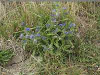 Blue flowers, Kaikoura - South Island, New Zealand