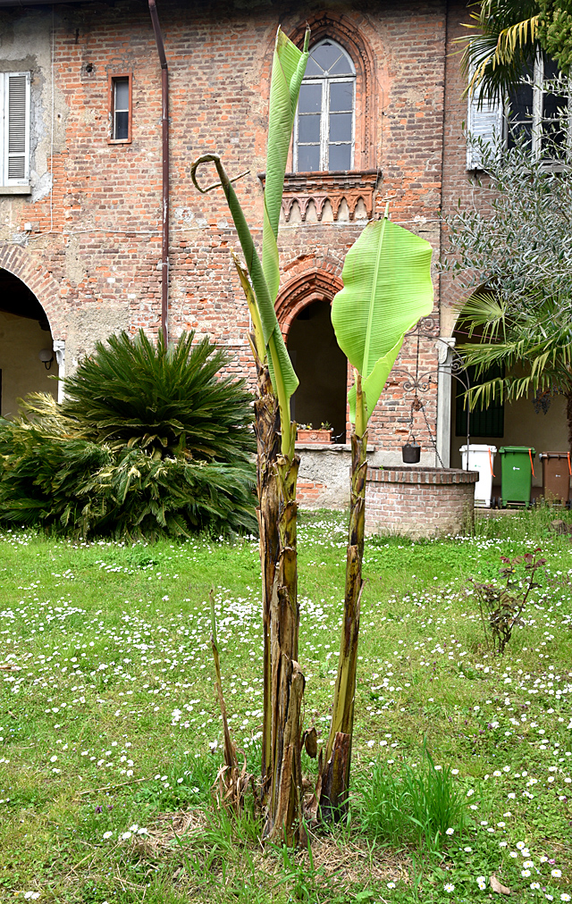 banano a Milano