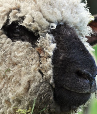 Oxford Sheep Advantages, Disadvantages, Weight, Wool & Meat Quality