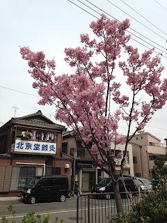 北京堂横浜 桜 画像
