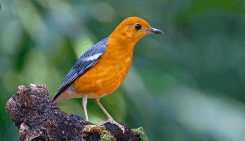 cara memaster burung anis merah