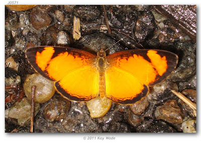 Mariposa claudina (Tegosa claudina)