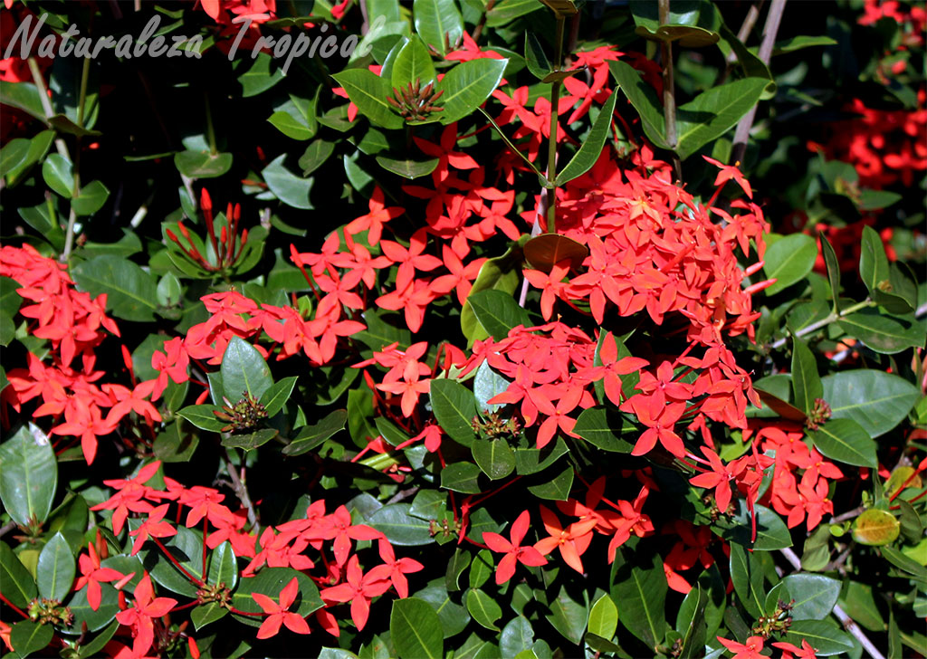 Naturaleza tropical 4 arbustos con flores hermosas for Arbustos ornamentales de exterior
