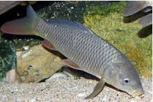 Klasifikasi Dan Morfologi sirip Ikan Mas