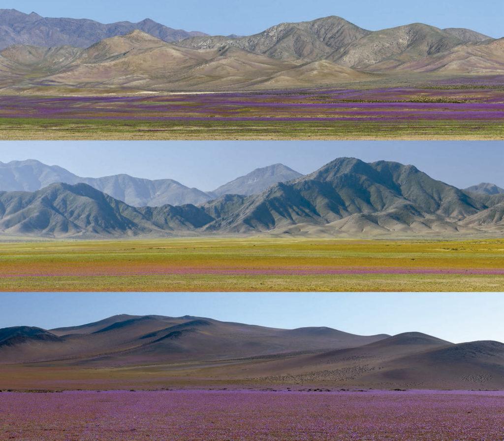 Imágenes del desierto florido de Atacama en Chile