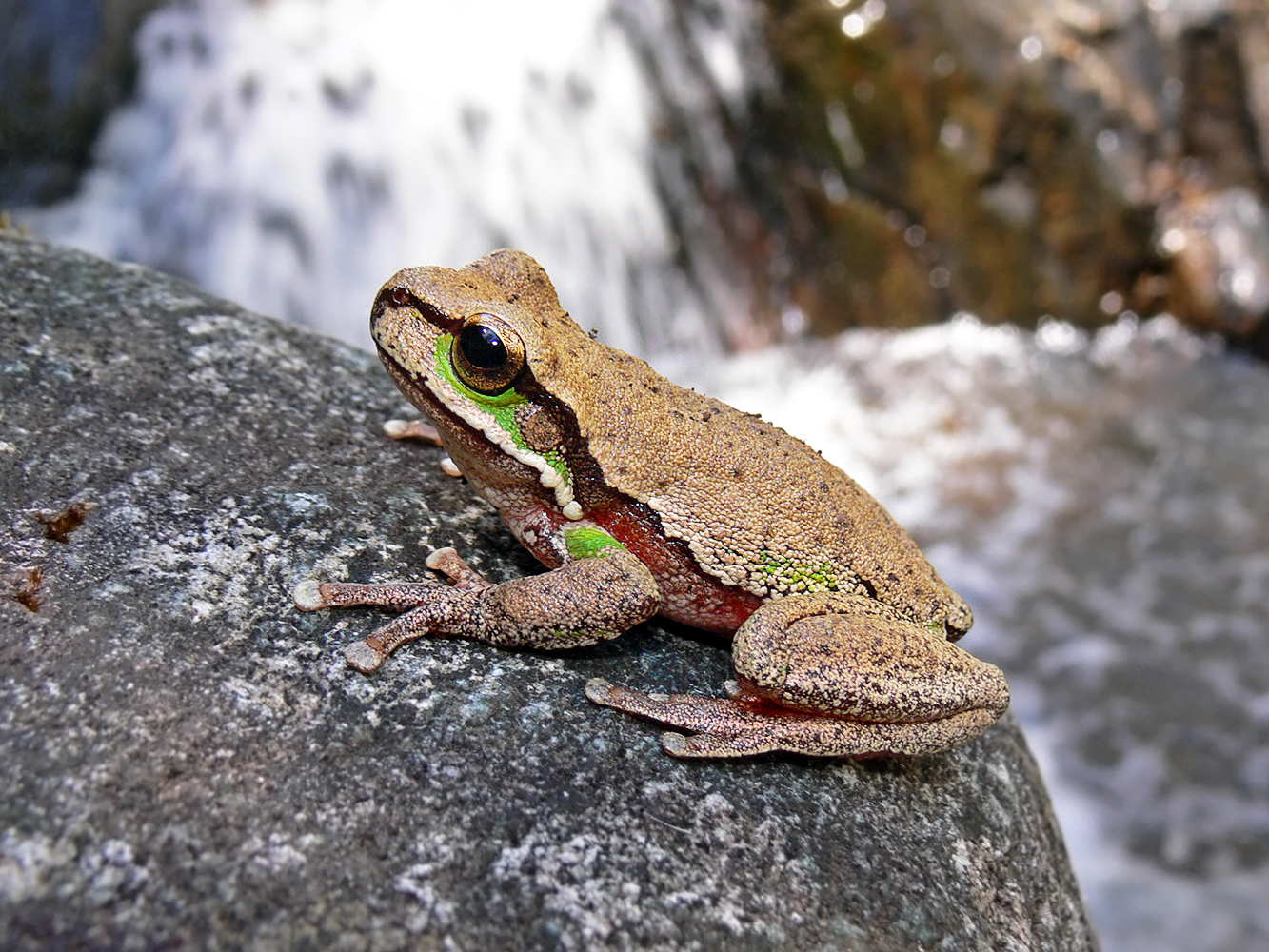 Amphibians: Blue Mountains Tree Frog