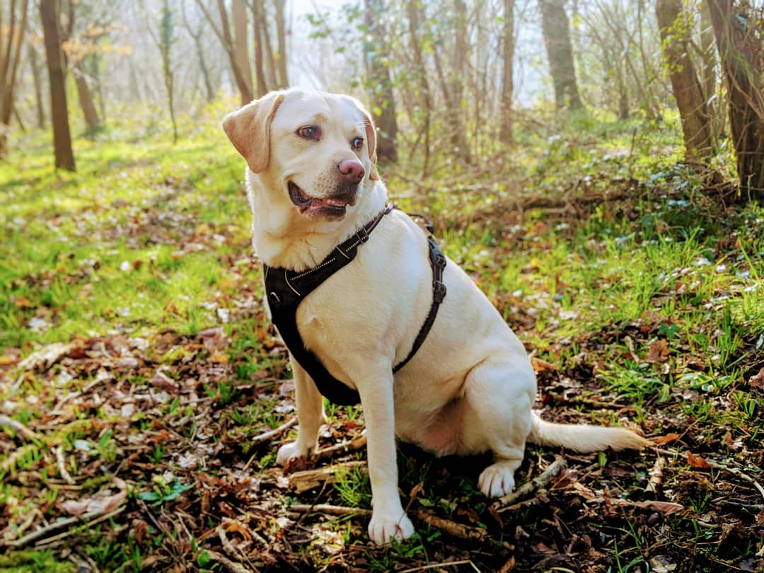 Scully the Labrador sat in the woods in spring