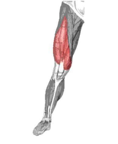 Músculo cuádriceps femoral resaltado de color
