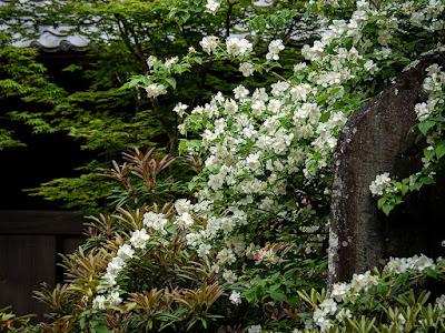 Baika-utsugi (Philadelphus satsumi) flowers: Kaizo-ji