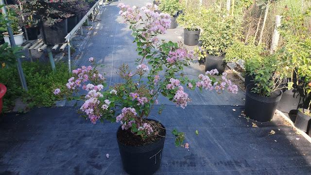 Cây tường vi tím đang ra hoa rộ trước khi cắt tỉa.