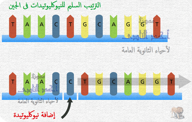 الطفرات – الثالث الثانوى - تصنيف الطفرات تبعاً لنوعها – الطفرات الجينية – إضافة نيوكليوتيدة