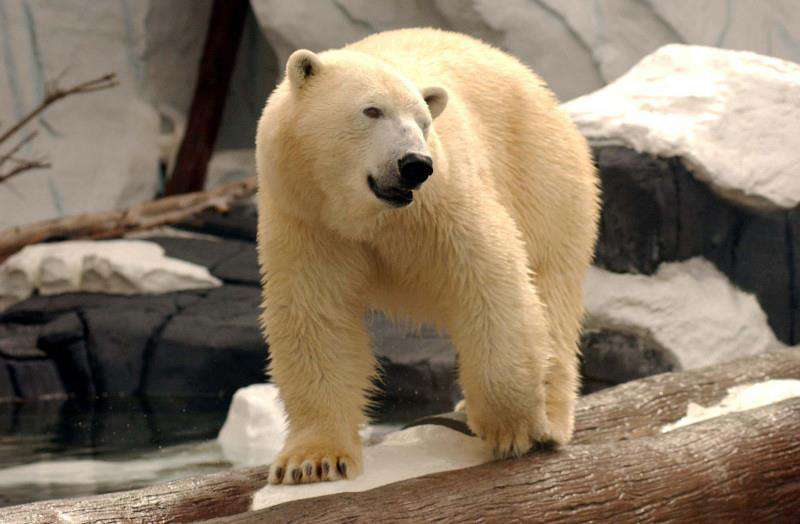 International Polar Bear Day Wishes Images