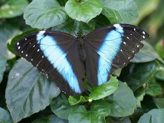Morphos divers - Morpho non identifié - Papillon bleu