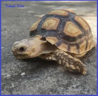 Sulcata turtle