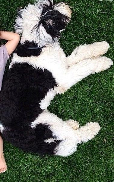 Giant Sheepadoodle Size