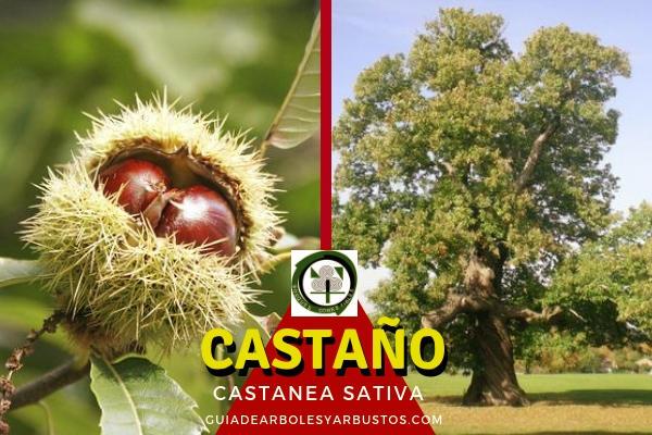 El castaño, Castanea sativa, es un árbol que fácil alcanza los 20 m. de altura