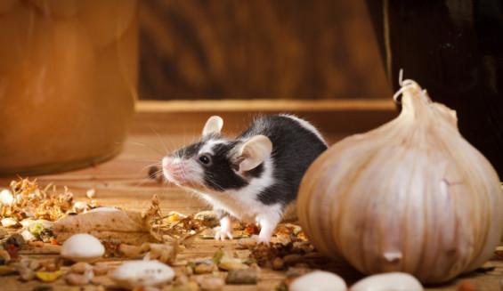 eliminar ratones desratización sevilla