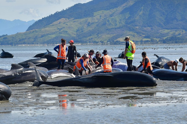 Hundreds of whales die stranded on remote New Zealand beach