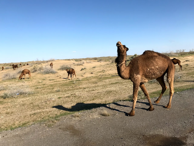 トルクメニスタンのカラクム砂漠にあるダルヴァザ村の近くで1971年から延々と燃えつづけているガスクレーター、通称「地獄の門」(Door to Hell)に至る道でみかけたラクダの群れ