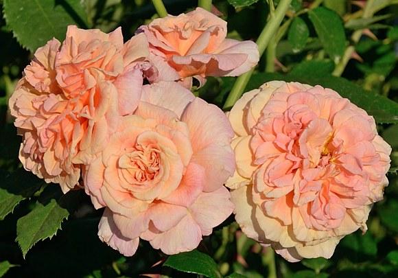 Aloha сорт розы фото купить саженцы в питомнике Минск