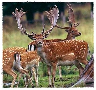 Gambar Rusa Hutan  Dunia Binatang