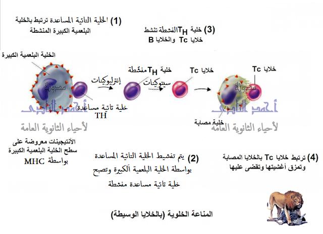 المناعة المكتسبة - المناعة الخلوية - الإنترليوكين - السيتوكينين