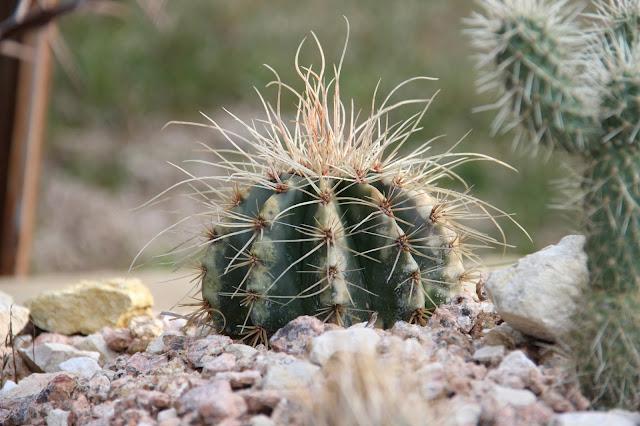 rotting cactus