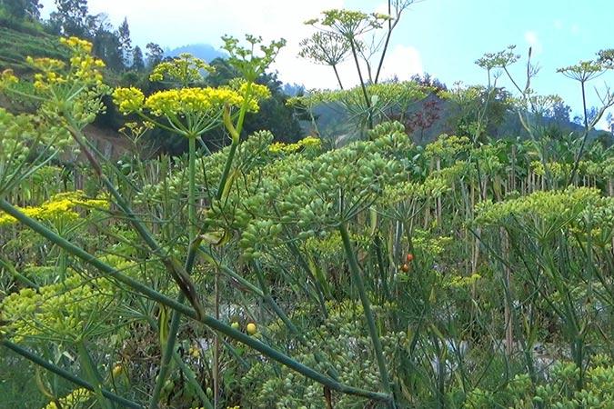 Dlium Fennel (Foeniculum vulgare)