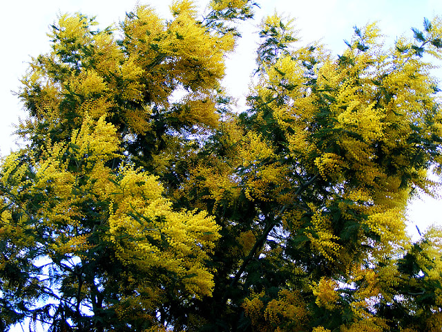 Silver Wattle Acacia dealbata in a garden. Indre et Loire, France. Photographed by Susan Walter. Tour the Loire Valley with a classic car and a private guide.