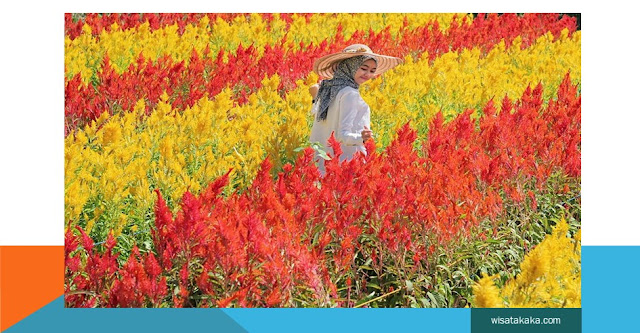 destinasi wisata taman bunga celosia semarang jawa tengah