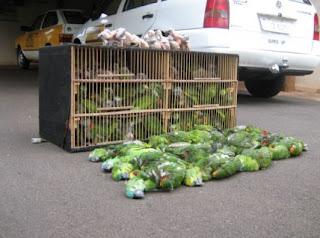 As aves são as espécies mais contrabandeadas para grandes colecionadores e para zoológicos particulares, sendo que um exemplar pode chegar a custar cerca de U$30 mil. A comercialização é feita principalmente para a Europa, América do Norte e Ásia.