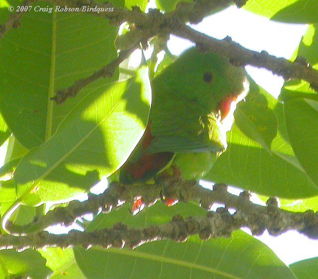 burung ini yaitu salah satu burung endemik Indonesia Mengenal Burung Serindit Flores