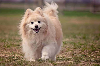 Fluffy Dog Breeds, white fluffy dog breeds